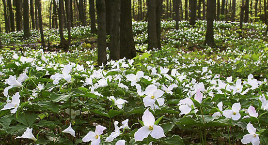 Trillium on forest floor