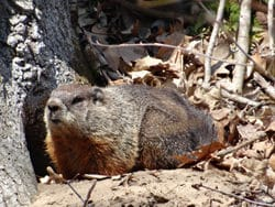 Woodchuck in Marcy's Woods